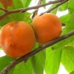 Fructul zeilor, sharon, kaki, persimmon şi tot atâtea beneficii