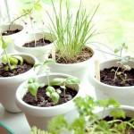 Plantele aromatice